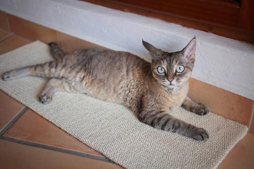 Beautiful devon rex cat on the scratching board